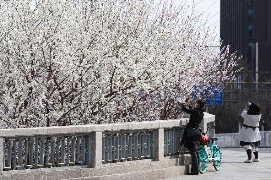 北京街头春意渐浓